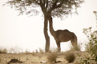 A Camel Eats From A Nearby Tree