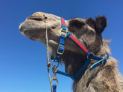 A Haughty Camel In A Blue And Red Harness Under Blue Skies