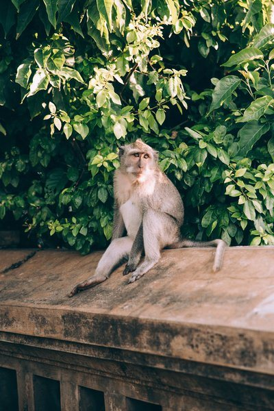 A Monkey On A Stone Wall Sunbathes