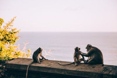 A Monkey Preens Her Children In The Setting Sun
