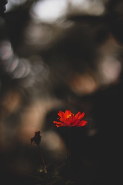A Red Flower Against A Blurry Bokeh Background