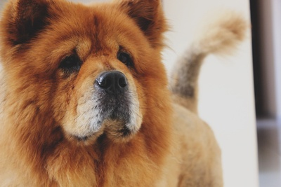 Chow Chow Chow Adulto