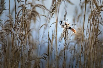 Bearded reedling bird