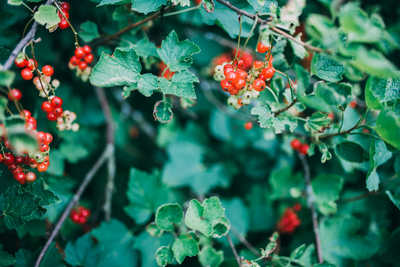 Berry Bush in the Summer