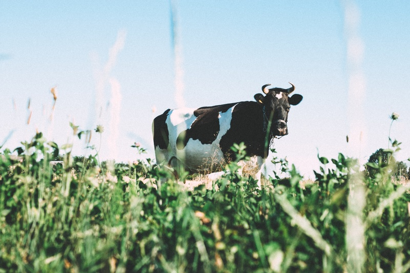 Black And White Dairy Cow on Green Grasses