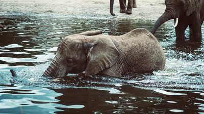 Black Elephant Swimming in Water