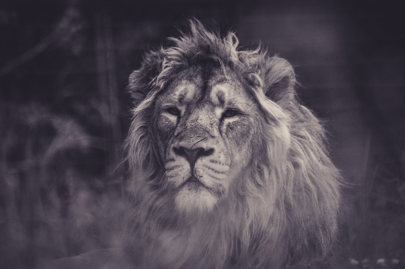Black & White Photography of Lion
