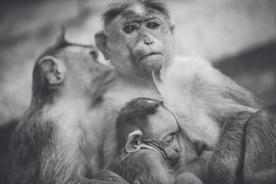 Black & White of Monkey Family