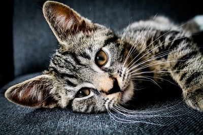 Brown And Black Tabby Cat Lying on Gray Cushion