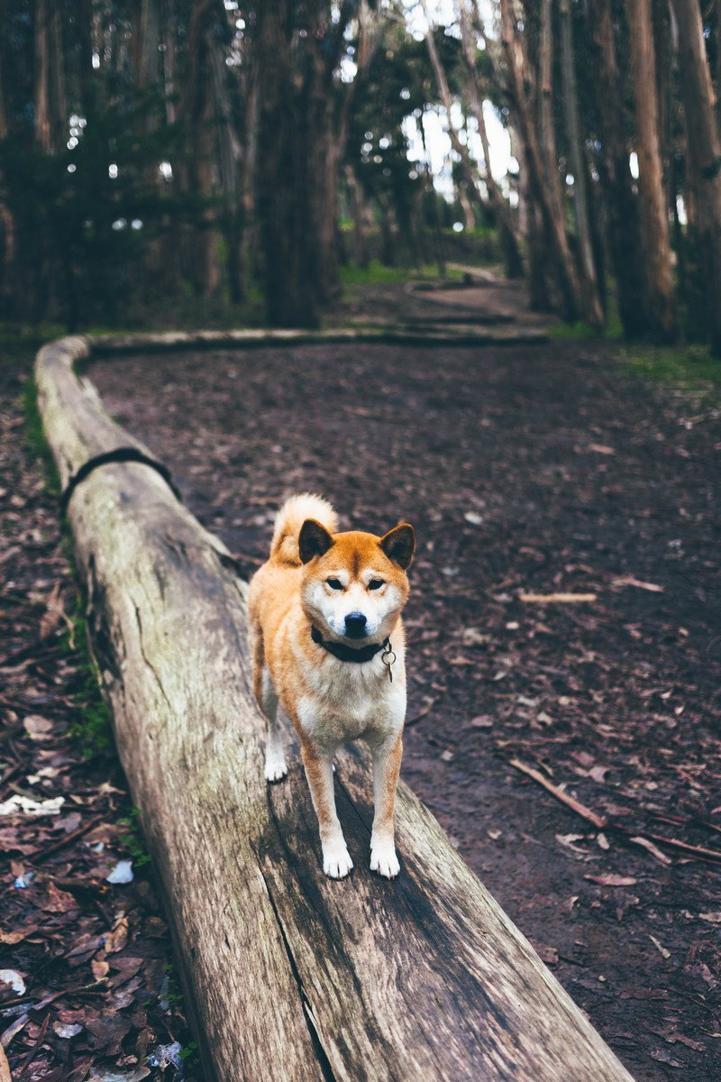 Brown And White Dog on Brown Log Path in the Middle