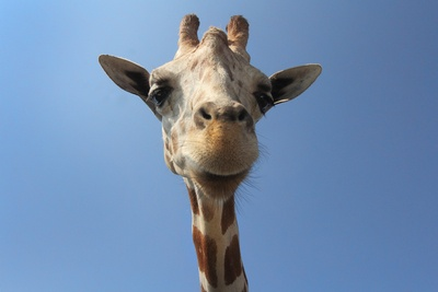 Brown Giraffe Photo