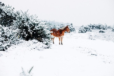 Brown Horse Standing Snow Covered Land