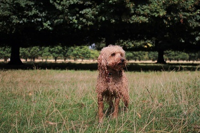 Brown Long-Coated Dog Standing on Grass Field Near Trees