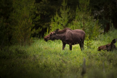 Brown Moose Surrounded By Trees