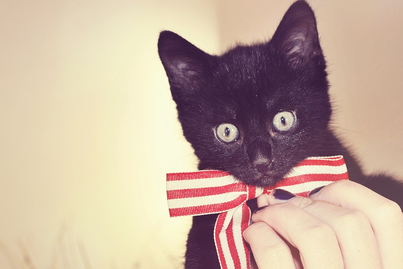 Cat Wearing Bow