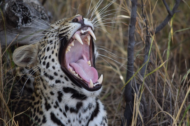 Cheetah Opening His Mouth