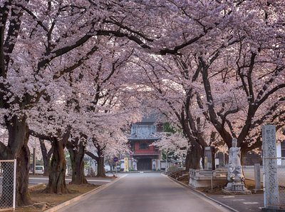 Cherry Blossoms On Road To Temple
