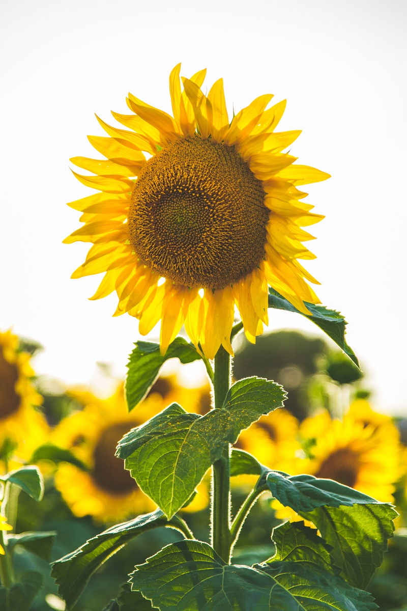 Close-Up  Common Sunflower