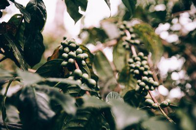 Clusters Of Firm Green Fruit In Lush Jungle