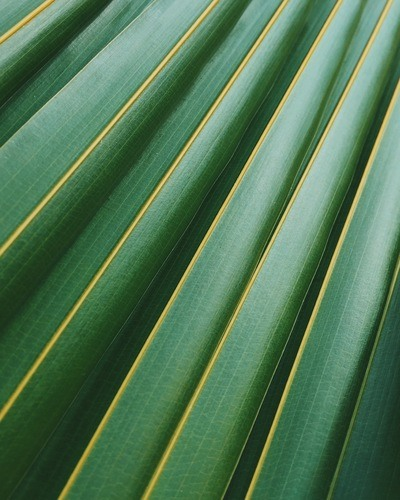 Coconut Leaf Photo