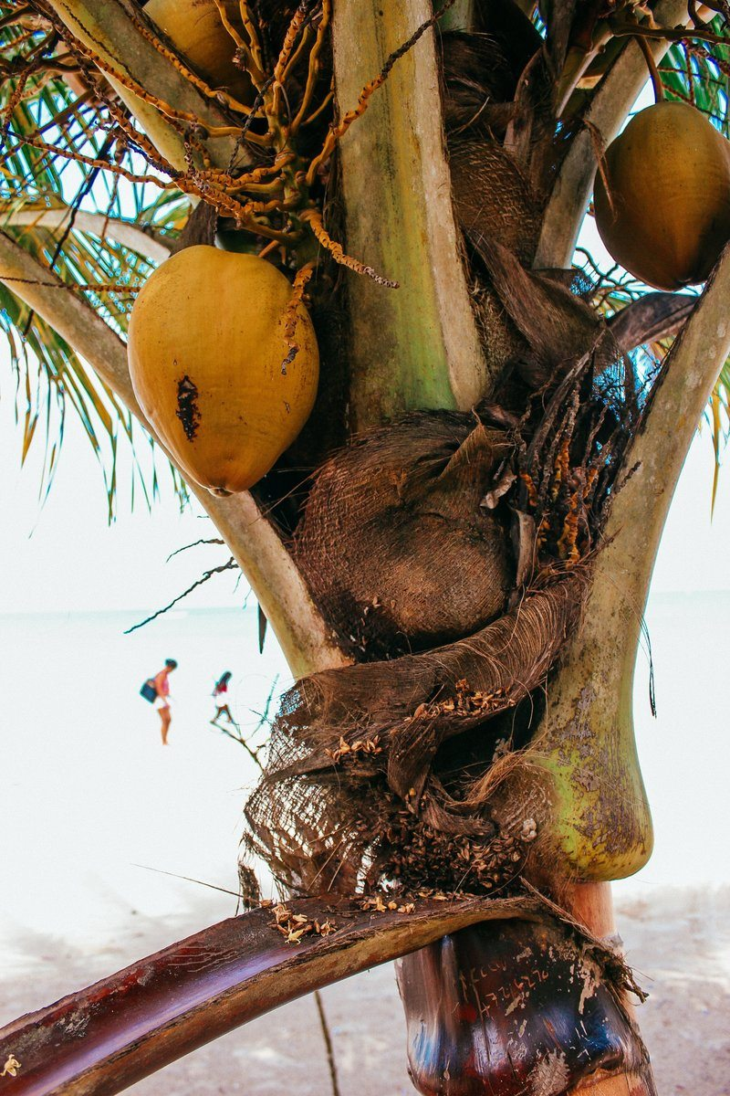 Coconut Tree Closeup