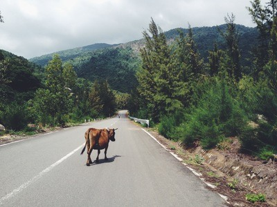 Cow Walking in the Middle of Road Between Trees Leading To