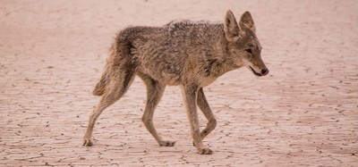Coyote Walking on Desert