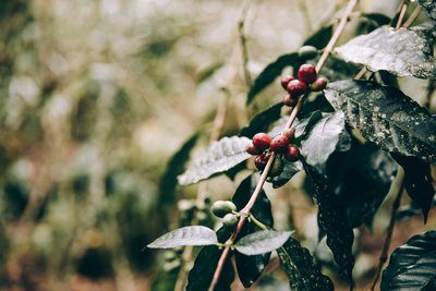Crimson Fruits Cling To Jungle Branches
