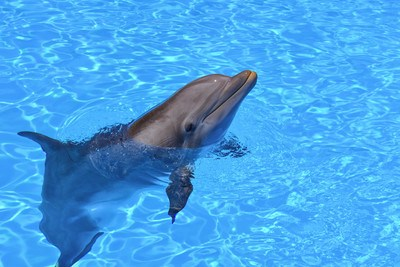 Dolphin with Head Sticking Out of Water