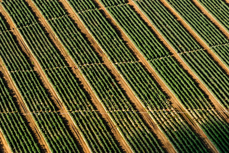 Drone Perspective of Vineyard Rows.