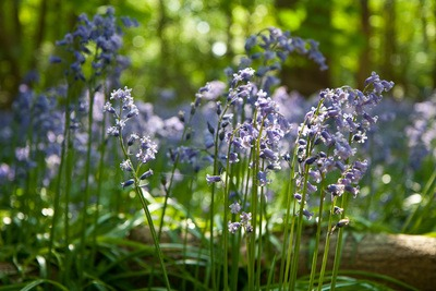 French Bluebells