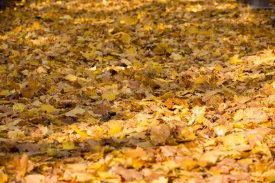 Fall Golden Leaves