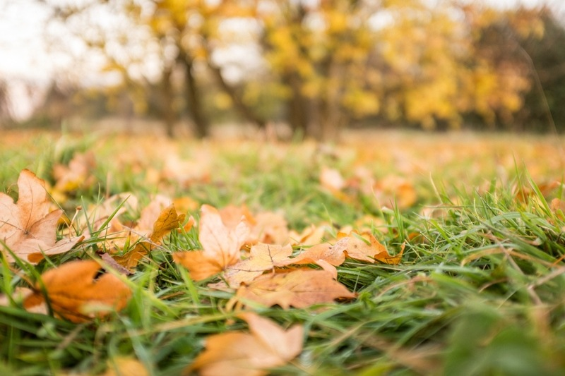 Fall Leaves on the Grass