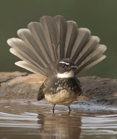 Fantail Bird Bathing In Shallow Water