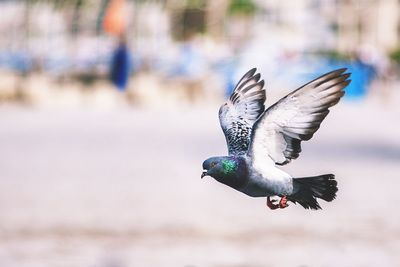 Flying Pigeon Bird
