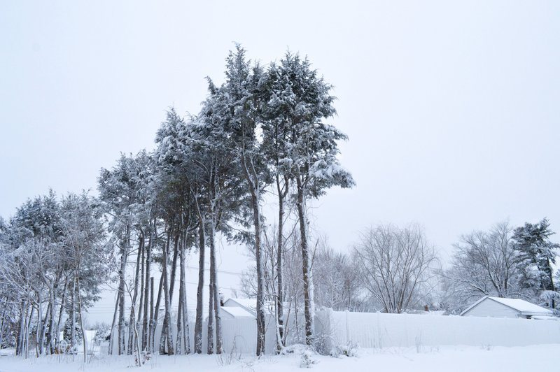 Frosty Trees Tower Over Winter Yards