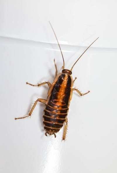 Cockroach Close-up
