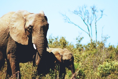 Gray African Elephant with Calf