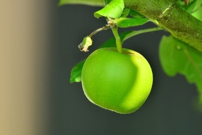 Green Apple in Tree