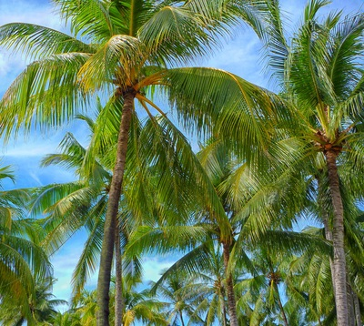 Green Coconut Trees