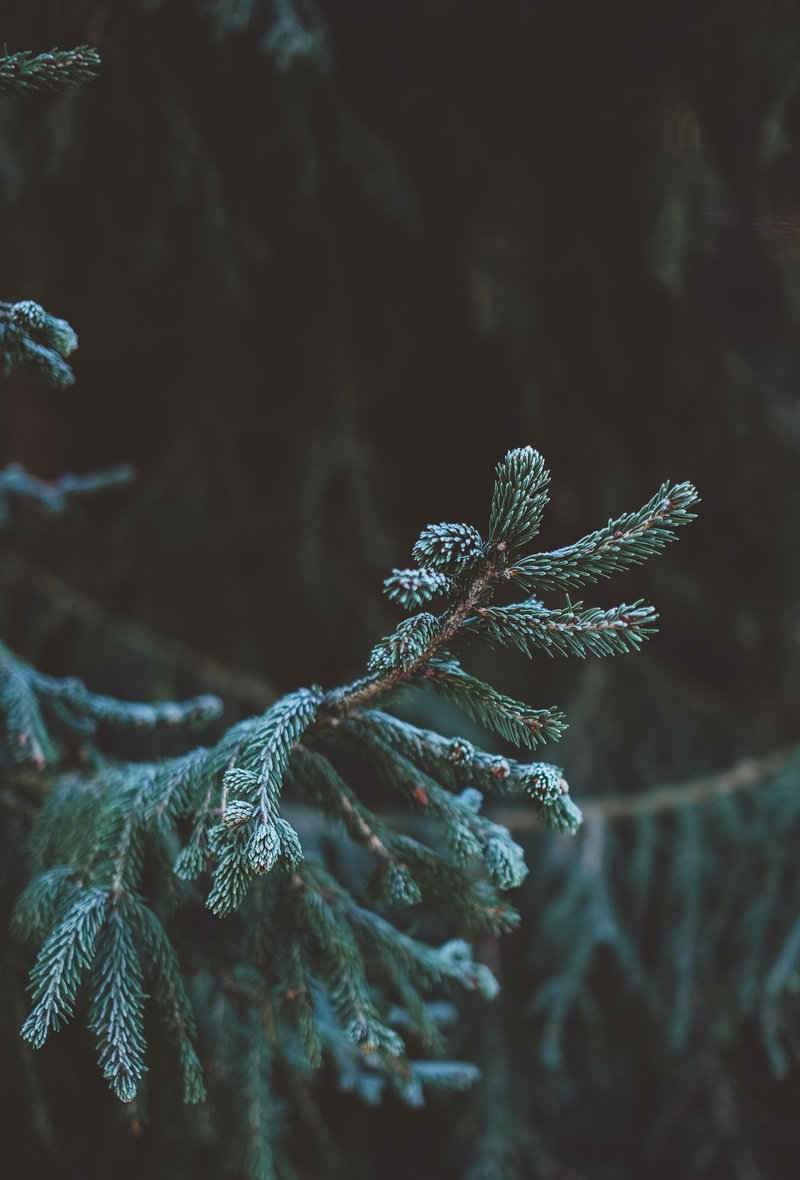 Green Fir Tree in Tilt Shift Lens