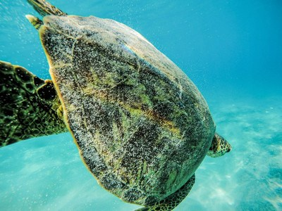 Green Sea Turtle in Water