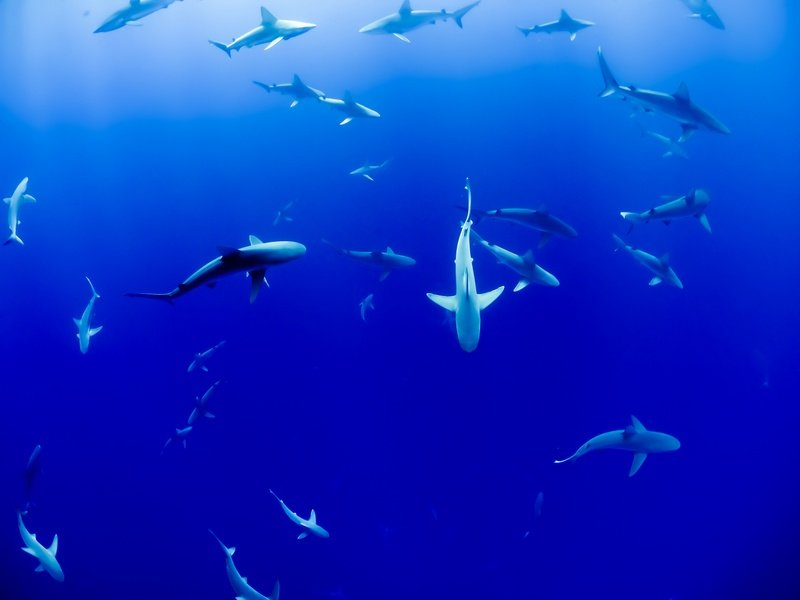 Group of Sharks Under Water