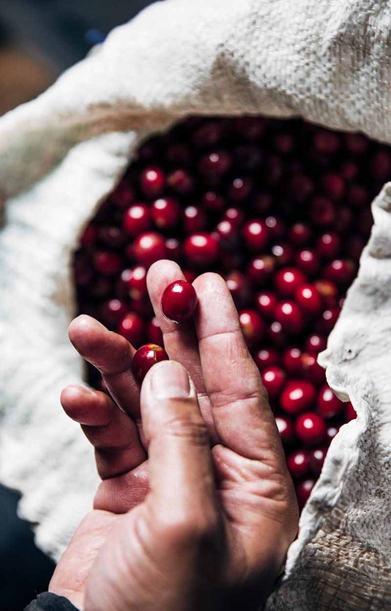 Hand Holding Freshly Picked Coffee