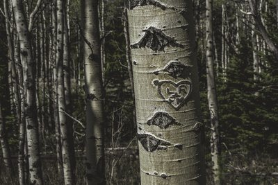 Heart Carved In Birch Tree
