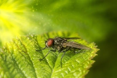 Housefly Close-up
