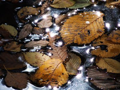 Leaves Float On Water As Sun Is Reflected