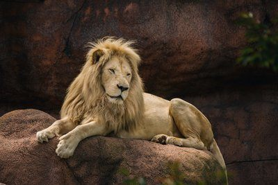 Lion Laying On Rock