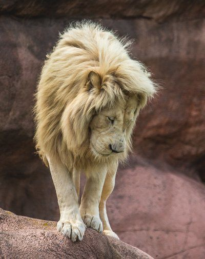 Lion Standing On Edge Looking Down
