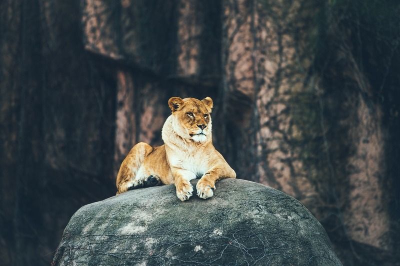 Lioness Laying on Gray Rock